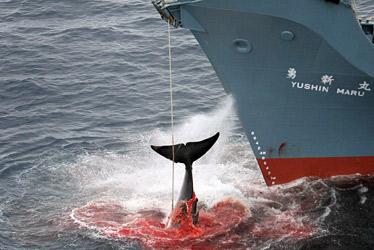 http://avaazmedia.s3.amazonaws.com/2092_whaling0621.jpg