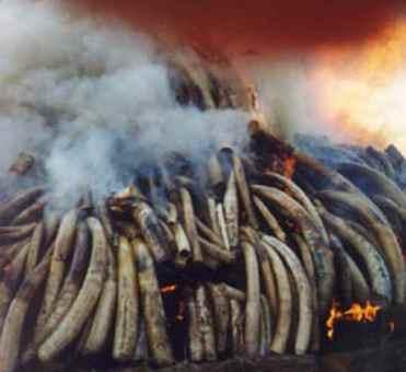 Protejan a los elefantes: ¡no al comercio de marfil!