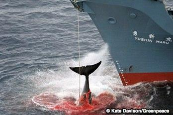 WHALES: FINAL PUSH TO STOP THE HUNT